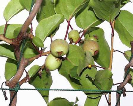 5 サルナシ(猿梨)